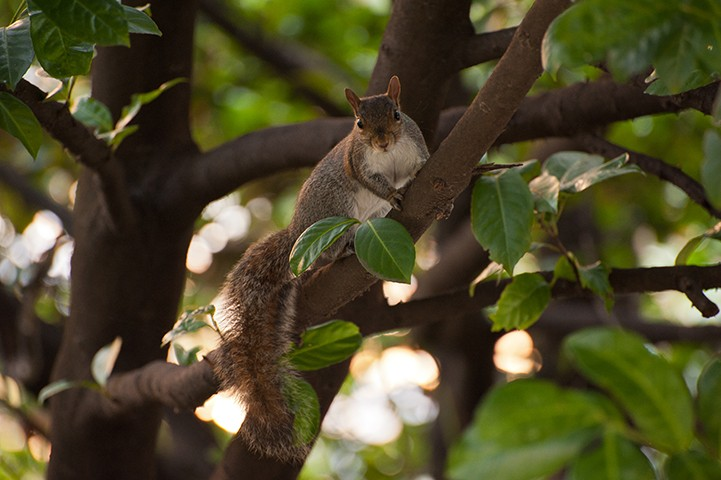 squirrel on a branch of laurel