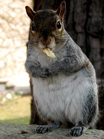 squirrel with kernels in the mouth